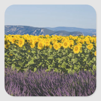Field of sunflowers and lavender flowers, square sticker
