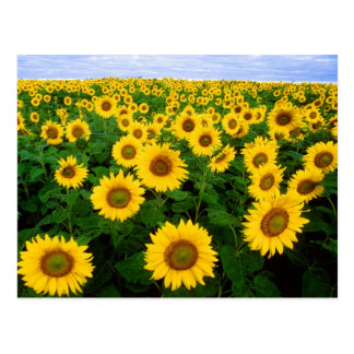 Field of Sunflowers Postcard