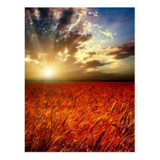 Field of wheat and sunset postcard