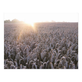 Field of Wheat Postcard