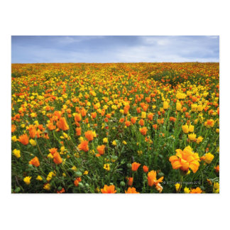 Field of Yellow, Marion County, Oregon Postcard