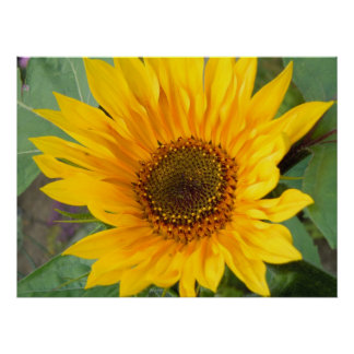 Fiery Sunflower Poster