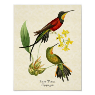 Fiery Topaz Hummingbirds Art Print