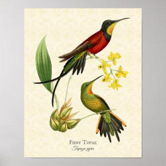 Fiery Topaz Hummingbirds Art Print