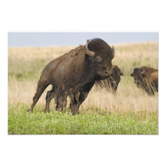 Fiesty young bison bull at the Tallgrass Photo Art