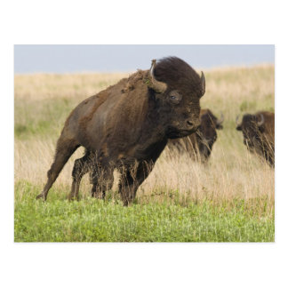 Fiesty young bison bull at the Tallgrass Postcard