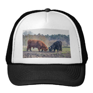 Fighting black and brown scottisch highlander bull cap