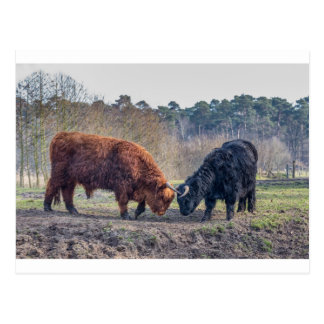 Fighting black and brown scottisch highlander bull postcard