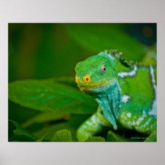 Fiji crested Iguana, Kula Eco Park, Viti Levu, Poster