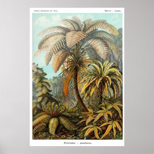 Filicinae (Tree fern) Poster