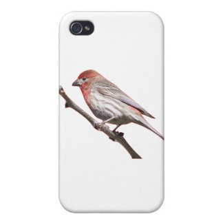 Finch on a branch iPhone 4/4S cover