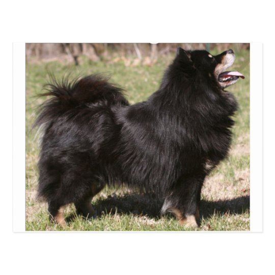 finnish lapphund full postcard