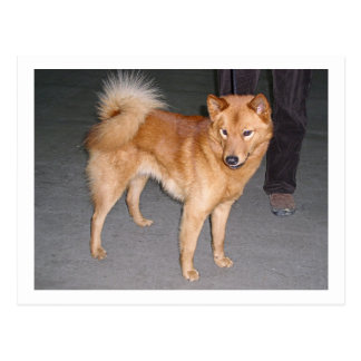 Finnish_Spitz full.jpg Postcard