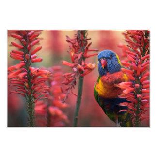 """""""Fire Lorikeet"""" Parrot in Red Aloe 13x19"""" Print"""