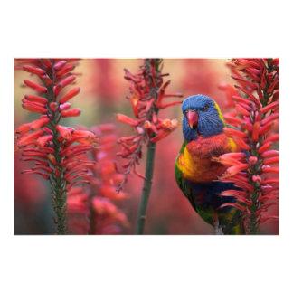 """""""Fire Lorikeet"""" Parrot in Red Aloe 8x12"""" Print"""