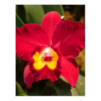 Fire Orchid Postcard
