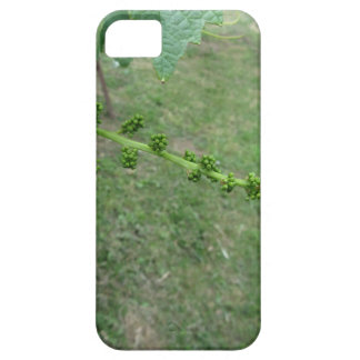 First buds on white mulberry tree ( Morus alba ) iPhone 5 Case
