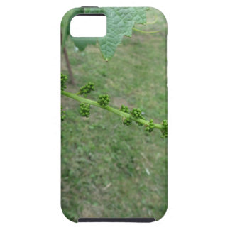 First buds on white mulberry tree ( Morus alba ) iPhone 5 Cover
