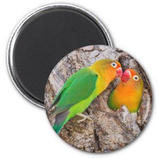 Fischer's Lovebirds kissing, Africa 6 Cm Round Magnet