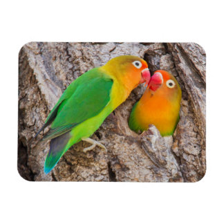 Fischer's Lovebirds kissing, Africa Rectangular Photo Magnet