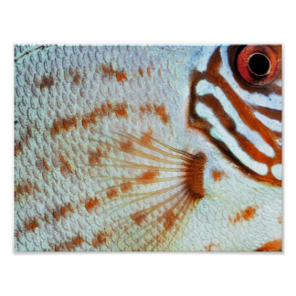 Fish Discus scales | Poster
