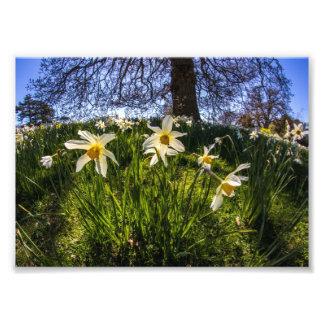 Fish Eye Daffodil Landscape Photo Print