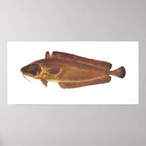 Fish - Ling - Lotella callarias Print