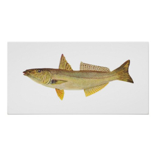 Fish - Sand Whiting - Sillago ciliata Print