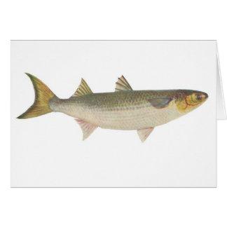Fish - Sea Mullet - Mugil dobula Greeting Cards