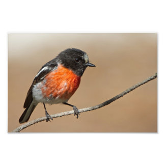 Flame Robin, Petroica Phoenicea Photo Print