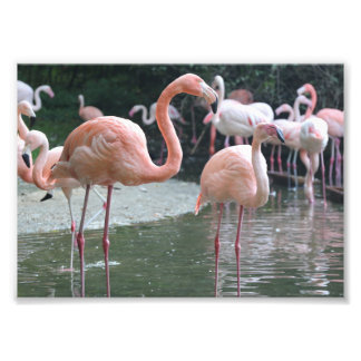 Flamingo Birds Photo Print
