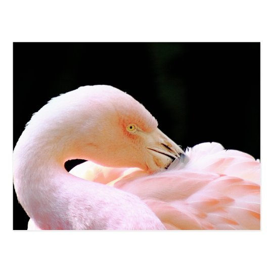 Flamingo Post Card