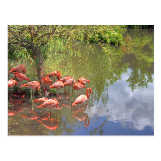 Flamingos. Postcard