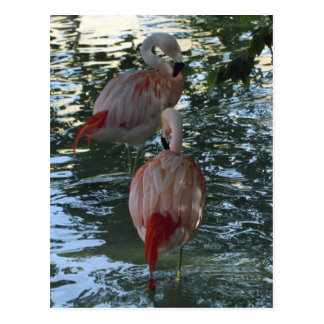 Flamingos Postcard