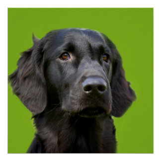 Flat Coated Retriever dog, black beautiful photo Poster