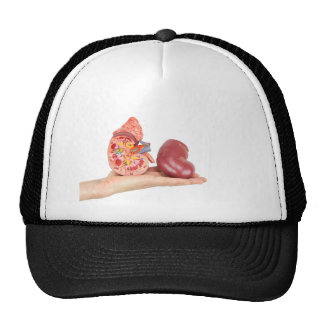 Flat hand showing model human kidney cap