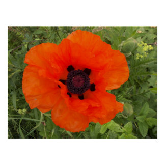 Fleur of poppy poster