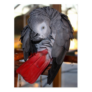 Flexible Congo African Grey Parrot with Red Tail Postcard