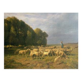 Flock of Sheep in a Landscape Postcard