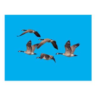 Flock of wild geese postcard