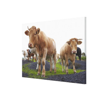 Flock of young white cows in Scottish field Stretched Canvas Print