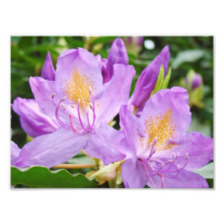 Floral Photograhpy prints Purple Rhododendrons Photo Print
