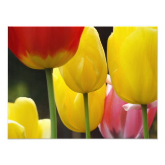 Floral Photography prints Tulip Flowers Nature Photographic Print