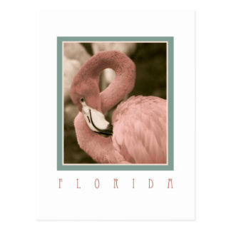 Florida Flamingos Postcard