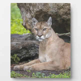 Florida Panther 8 x 10 with Easel Plaque