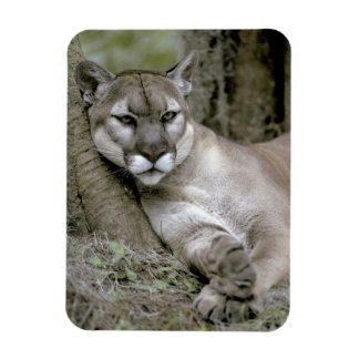 Florida panther, Felis concolor coryi, Magnet