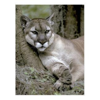 Florida panther, Felis concolor coryi, Postcard