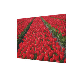 Flower field of tulips, Netherlands, Holland Stretched Canvas Print