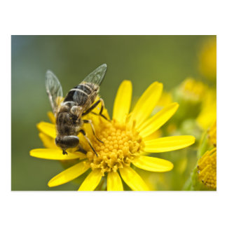Flower Fly on Tansy Ragwort Postcard