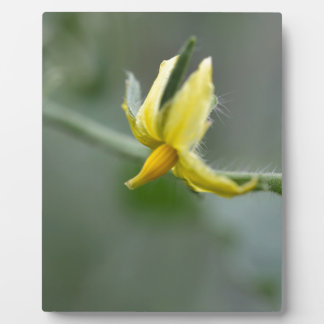 Flower of a Cucumber  plant Plaque